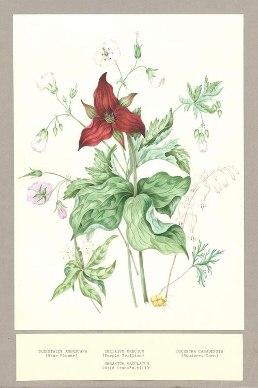 Two original water colour-sketches made for Canadian Wild Flowers