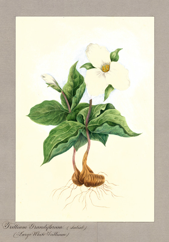 Original Watercolour Paintings of Canadian Wild Flowers