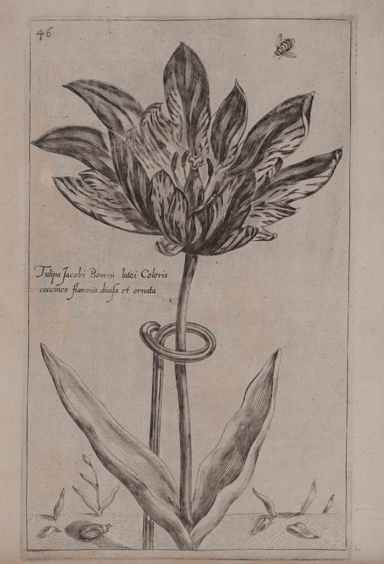 Plate depicting tulips, detached from the 'Spring' sequence of Hortus floridus