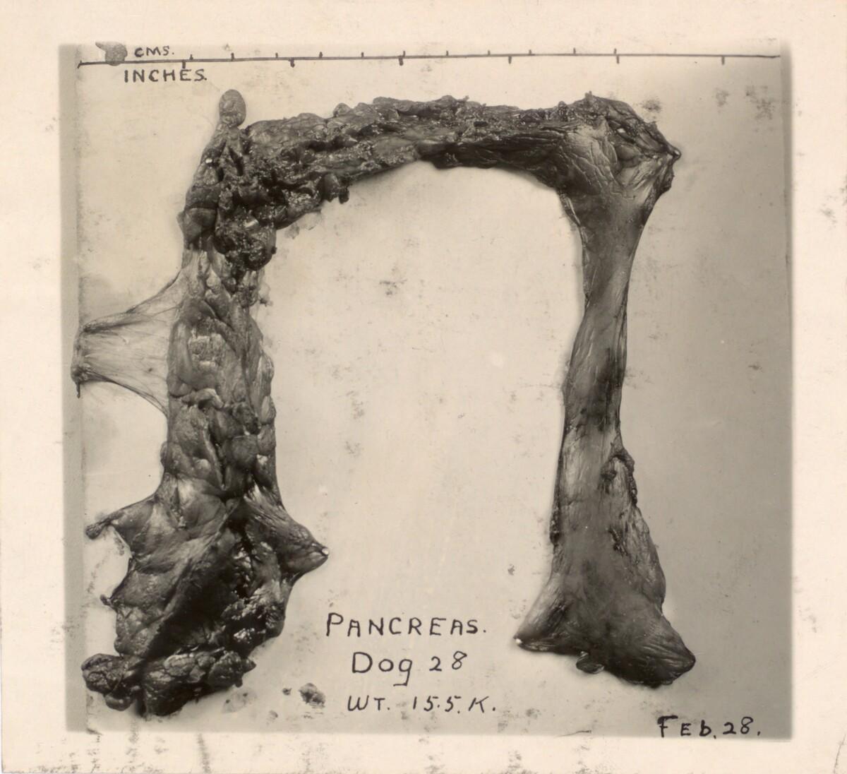 Photograph of pancreas of dog 28.