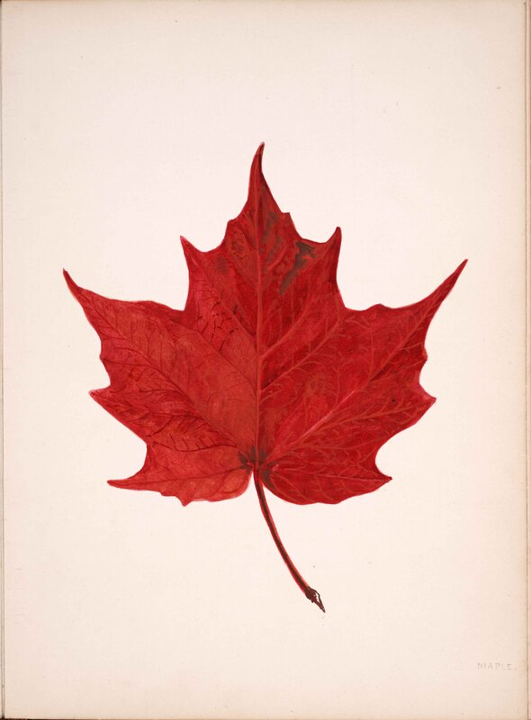 Original Watercolour of Maple Leaf